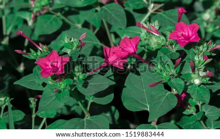 Mirabilis is a genus of plants in the family Nyctaginaceae known as the four-o'clocks or umbrellaworts. The best known species may be Mirabilis jalapa, the plant most commonly called four o'clock. #1519883444