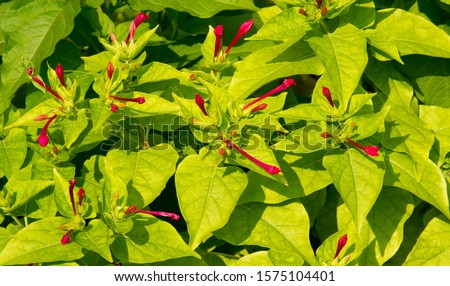 Mirabilis is a genus of plants in the family Nyctaginaceae known as the four-o'clocks or umbrellaworts. The best known species may be Mirabilis jalapa, the plant most commonly called four o'clock. #1575104401