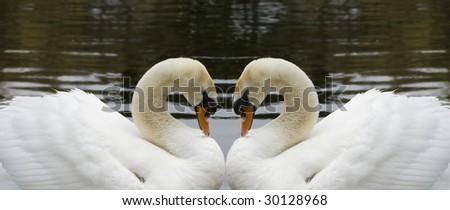 Mirror Image Swans