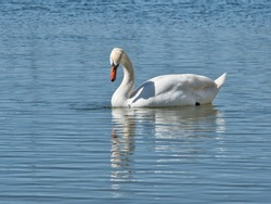 Mirror mirror on the wall, who is the prettiest of them all? Mute swan edition.