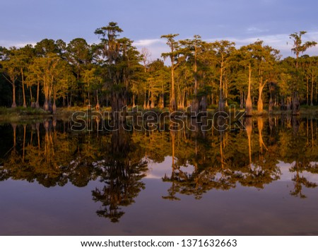 Mirrored reflection of a swampy Cyprus tree grove near Tallahassee Florida. This type of forest is only found in the deep south