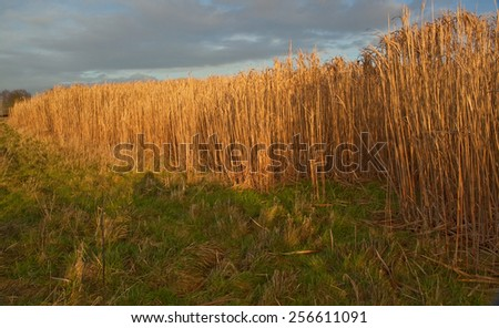 Miscanthus,(commonly called Elephant Grass )is a high yieding energy crop that grows over 3 metres tall,resembles bamboo and produces a crop every year without the need for replanting.