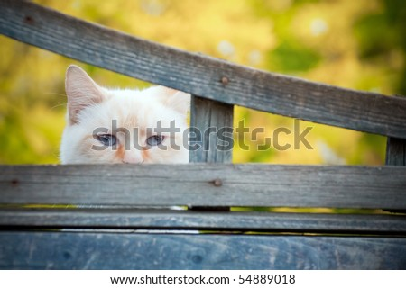 mischievous birman cat with mysterious blue eyes looking through a gap a fence