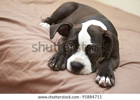 Mischievous Pit Bull puppy lying on soft bed