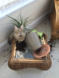 mischievous tabby kitten, sat in the mess after knocking a plant over