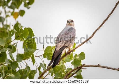 Mississippi Kite (Ictinia mississippiensis) perched in a tree #1560966839