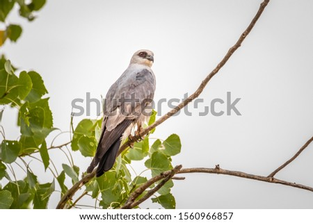 Mississippi Kite (Ictinia mississippiensis) perched in a tree #1560966857