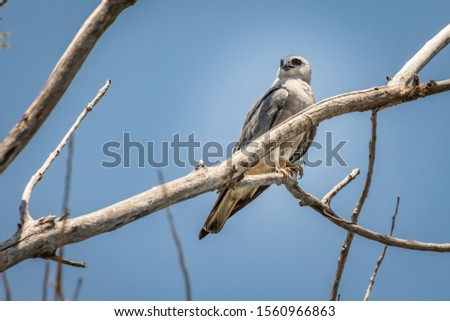 Mississippi Kite (Ictinia mississippiensis) perched in a tree #1560966863