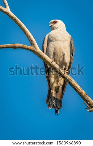 Mississippi Kite (Ictinia mississippiensis) perched in a tree #1560966890
