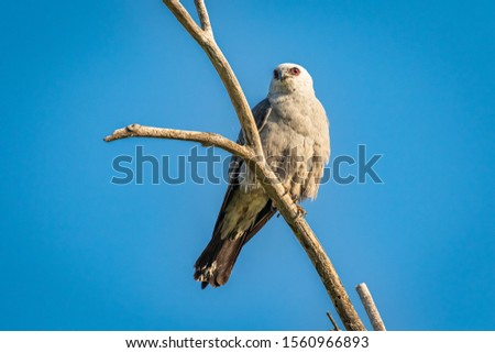 Mississippi Kite (Ictinia mississippiensis) perched in a tree #1560966893