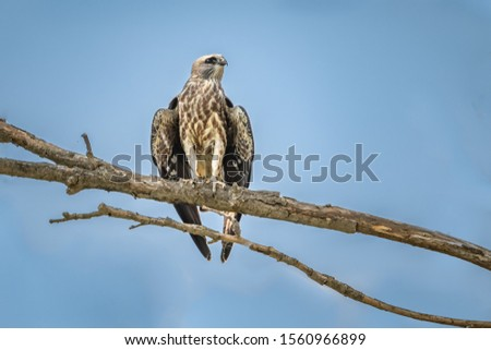 Mississippi Kite (Ictinia mississippiensis) perched in a tree #1560966899