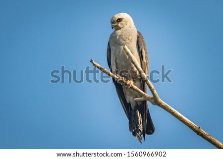 Mississippi Kite (Ictinia mississippiensis) perched in a tree #1560966902