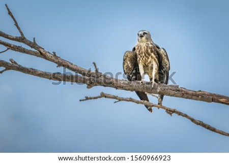 Mississippi Kite (Ictinia mississippiensis) perched in a tree #1560966923