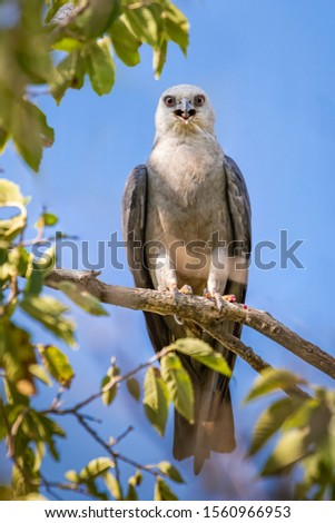 Mississippi Kite (Ictinia mississippiensis) perched in a tree #1560966953