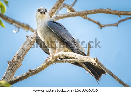 Mississippi Kite (Ictinia mississippiensis) perched in a tree #1560966956