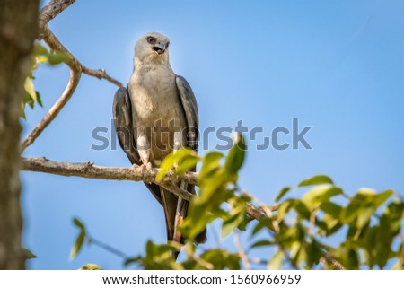 Mississippi Kite (Ictinia mississippiensis) perched in a tree #1560966959