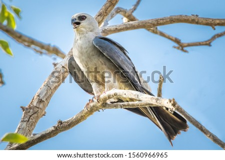 Mississippi Kite (Ictinia mississippiensis) perched in a tree #1560966965