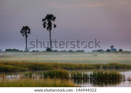Mist settles over grasslands and two tall isolated trees in the Okavango Delta, Botswana, Africa