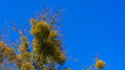 Mistletoe on the bare branches of a tree on a bright blue sky backdrop on a spring sunny day. Tree and classic blue sky. Texture concept. Space for text.