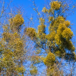 Mistletoe on the bare branches of a tree on a bright blue sky backdrop on a spring sunny day. Tree and classic blue sky. Texture concept.