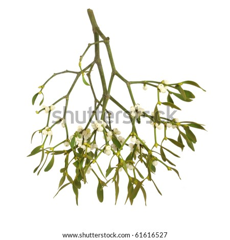 Mistletoe plant with berries isolated over white background.