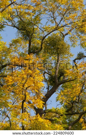 Mistletoes on convoluted tree with yellow leaves in autumn