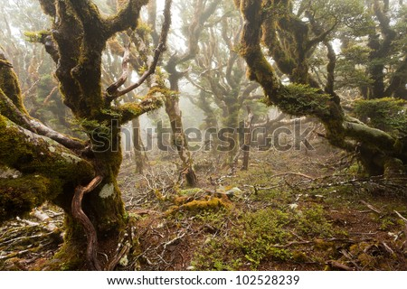 Mists in virgin mountain rainforest wilderness of Marlborough, New Zealand
