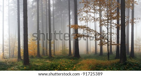 Misty Autumn Forest after rain