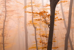 Misty autumn forest with colorful orange leaves glimpsed through the tree trunks in an atmospheric seasonal landscape conceptual of the changing seasons and weather