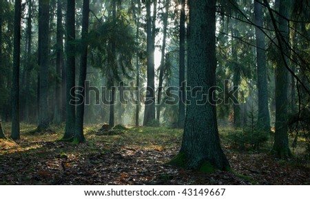 Misty autumnal coniferous stand of Bialowieza Forest at sunrise with old spruces and pines