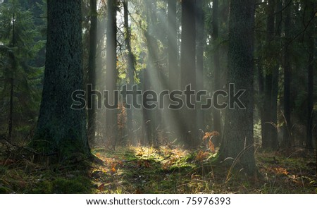 Misty autumnal coniferous stand of Bialowieza Forest at sunrise with old spruces in foreground