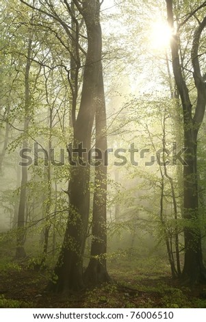 Misty beech forest after spring rains.