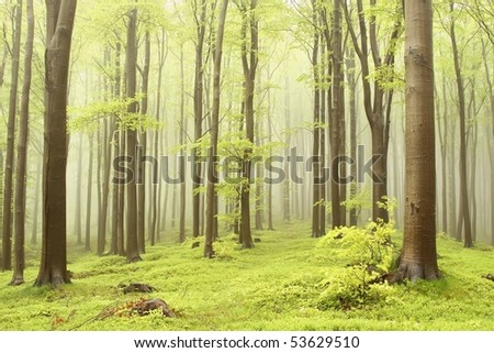Misty beech forest on the mountain slope in a nature reserve. Photo taken in May.