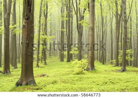 Misty beech forest on the mountain slope in a nature reserve. Picture taken in May.
