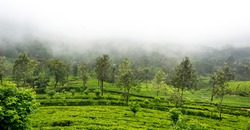 Misty cold weather in green tea estate in Hapthale, Srilanka.