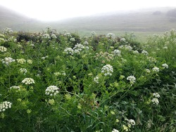 Misty English summer landscape, early morning view over wildflowers in hedgerow to distant hillside