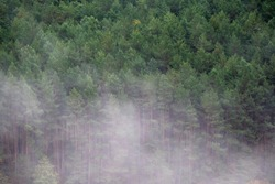 Misty foggy morning in the pine forrest. Elevated view of woods on misty day