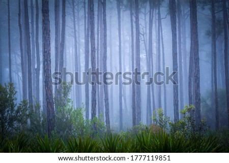 Misty forest  background. Forest mist scene. Misty forest trees