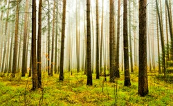 Misty forest trees fog background. Mist forest trees view. In misty forest