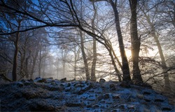 Misty forest trees. Forest mist trees. Mist forest scene. In mist forest