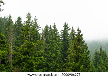 Misty forest view with spruce trees after rain. Stok fotoğraf ©