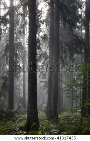 Misty late summer coniferous stand of Bialowieza Forest at sunrise with old spruces