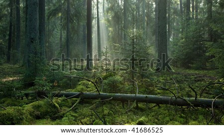 Misty late summer coniferous stand of Bialowieza Forest at sunrise with old spruces and lying broken one in foreground on mossy bottom