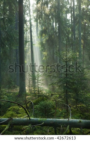 Misty late summer coniferous stand of Bialowieza Forest at sunrise with old spruces and lying broken one in foreground on mossy bottom - stock photo