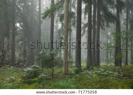 Misty late summer mainly coniferous stand of Bialowieza Forest at sunrise