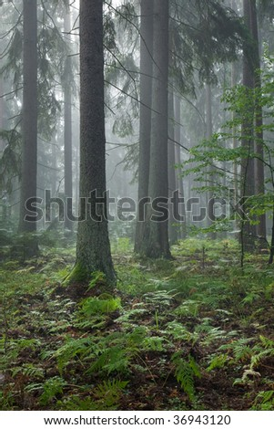Misty late summer mainly coniferous stand of Bialowieza Forest at sunrise with young hornbeam tree in foreground - stock photo