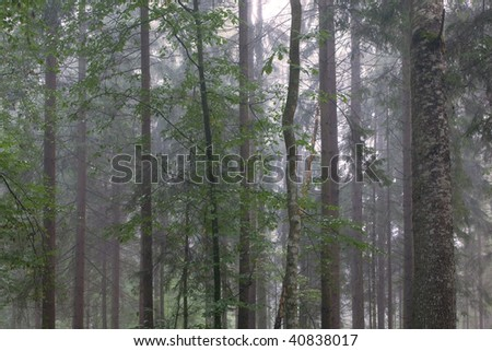 Misty late summer mainly coniferous stand of Bialowieza Forest at sunrise with young hornbeam trees - stock photo