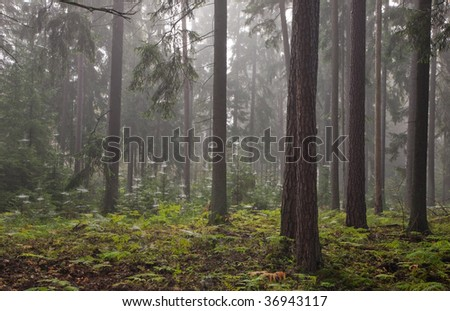 Misty late summer mainly coniferous stand of Bialowieza Forest at sunrise with young spruces spiders net wrapped