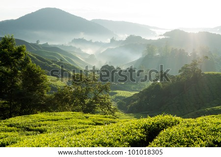 Misty morning at tea plantation farm