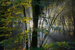 Misty morning atmosphere in a beech forest near Menden Sauerland Germany with colorful leaves and foliage backlit by low sun on a autumn day, with sun rays of light, fog and humidity in the air
